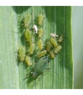 Aphid Control - Aphidius - Lacewing Larvae - x500