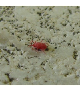 Red Spider Mite Control - Amblysieus andersoni x10
