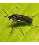 Sciarid Fly Nematodes