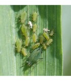 Aphid Pest Control