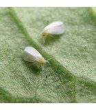 Whitefly Pest Control