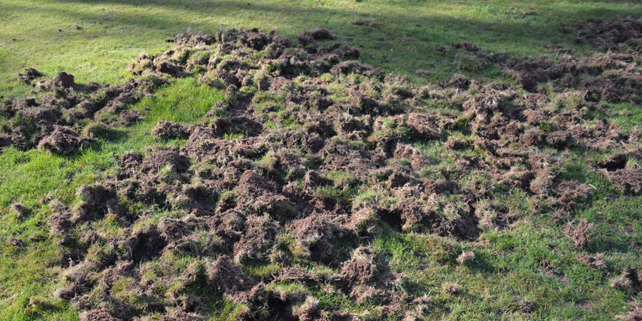 Badger Damage To Lawn and Chafer Grubs