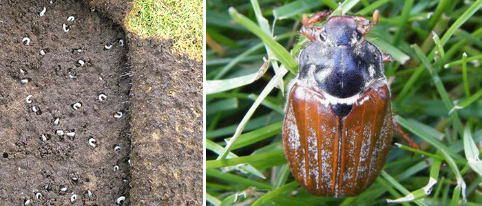 Chafer Grubs in Lawn and Adult Chafer Beetle