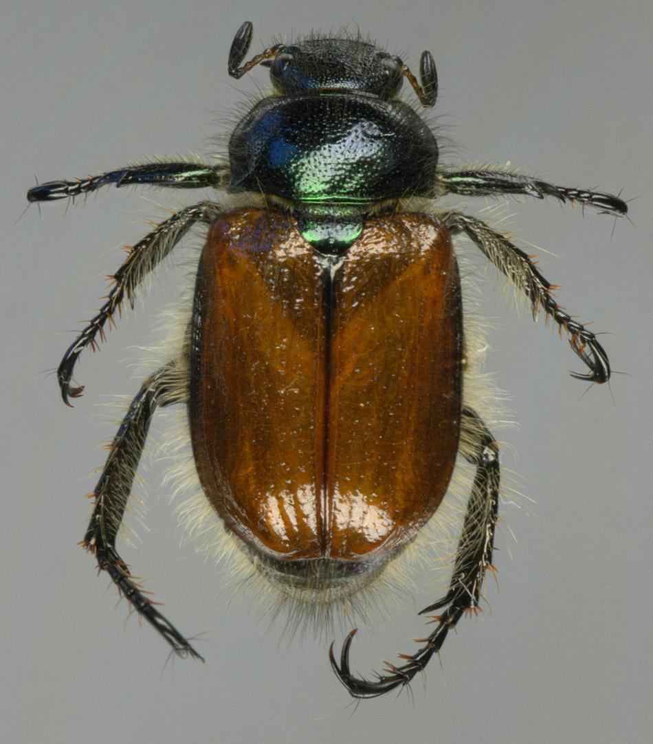 GARDEN CHAFER - Phyllopertha horticola (Linnaeus, 1758)