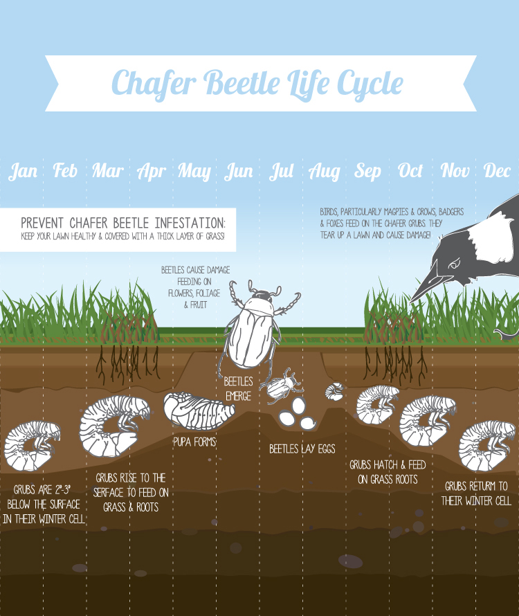 Chafer Grub Lifecycle
