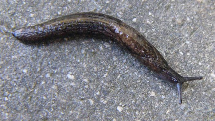 Keeled Slug
