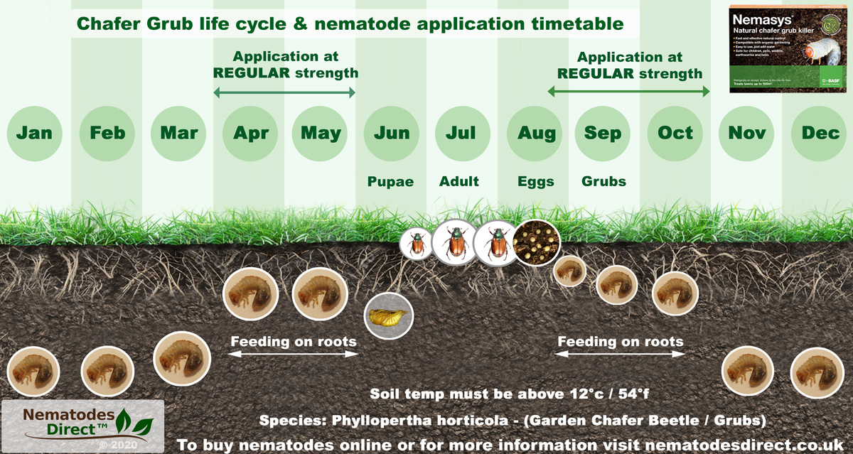 Chafer Grub Life Cycle